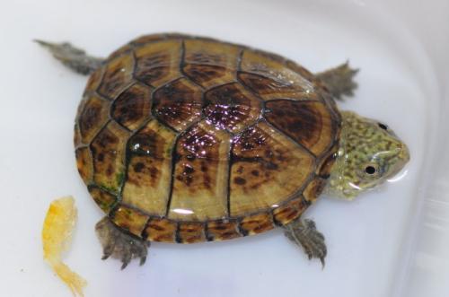 东方泥龟保护等级
