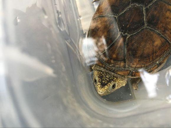 东方泥龟怎么冬眠