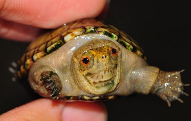 东方泥龟多少钱一只