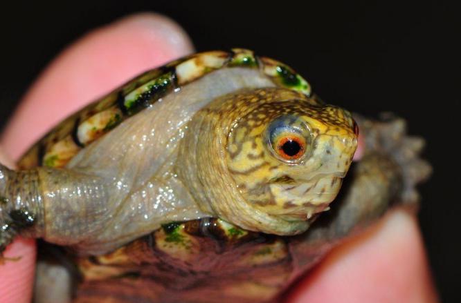 东方泥龟最大能长多大 东方泥龟能长多大