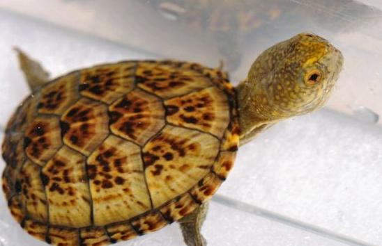 东方泥龟怎么分公母
