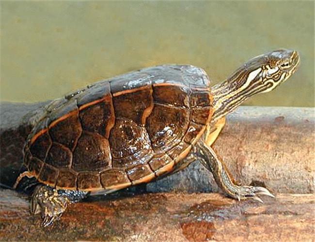 南部锦龟能活多久