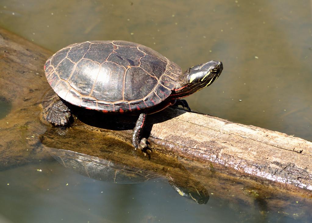 南部锦龟冬天怎么养
