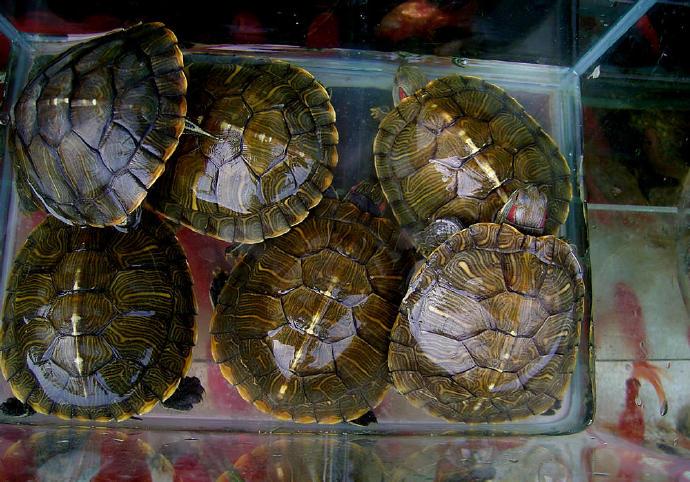 南部锦龟的饲养温度