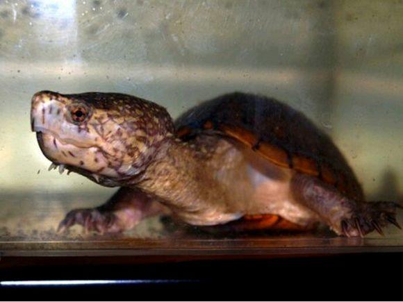 东方泥龟饲养环境