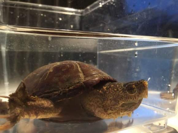 东方泥龟吃鱼吗