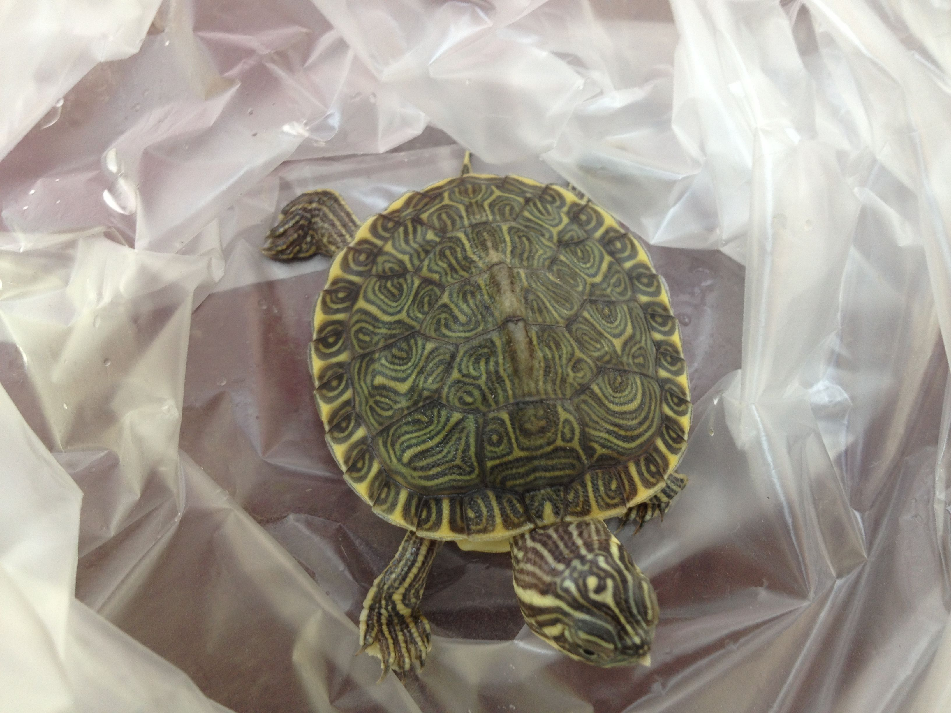 佛州甜甜圈龟是水龟吗 佛州甜甜圈属于水龟还是陆龟