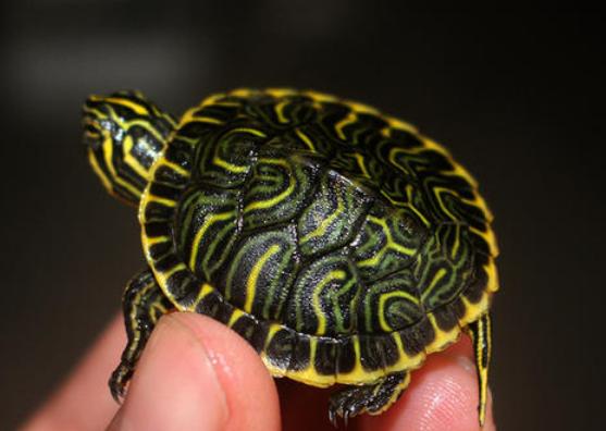 佛州甜甜圈龟饲养方法 佛州甜甜圈龟怎么饲养
