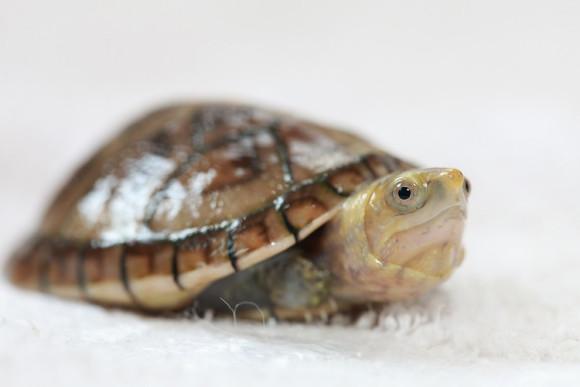 白唇蛋龟什么价格