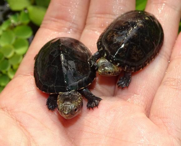 白唇蛋龟可以活多久