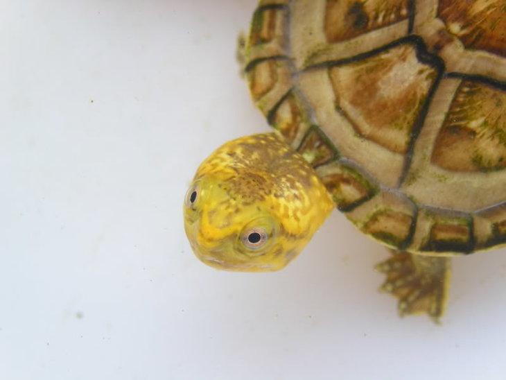 白唇蛋龟是深水龟吗