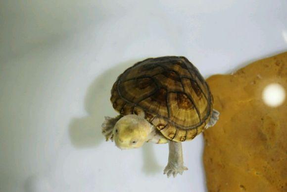 白唇蛋龟能深水养吗
