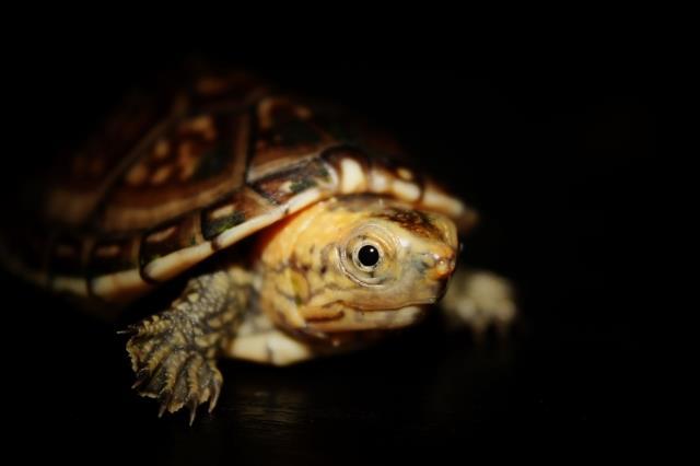 白唇蛋龟怎么分公母 白唇蛋龟公母区分