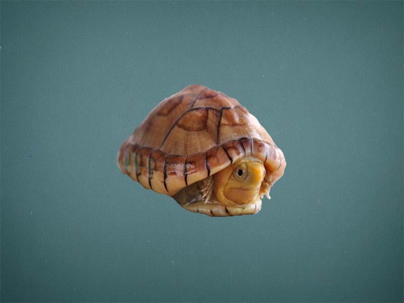 白唇蛋龟怎么挑选 白唇蛋龟如何挑选
