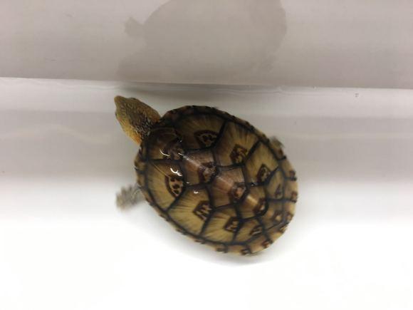 白唇蛋龟怕人吗