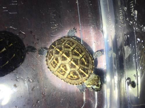 蝎泽蛋龟价格 蝎泽蛋龟什么价位