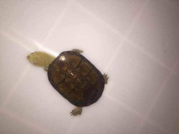 蝎泽蛋龟闭壳吗 蝎泽蛋龟能闭壳吗