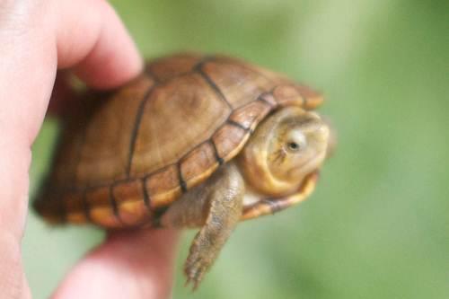 蝎泽蛋龟跟红面蛋龟怎么分辩 蝎泽蛋龟和红面蛋龟区别