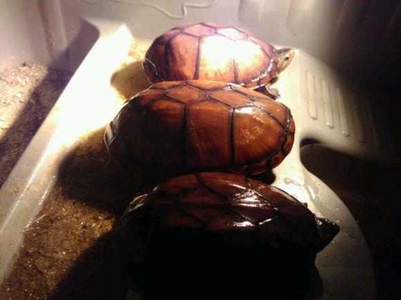 蝎泽龟和白唇蛋龟区别