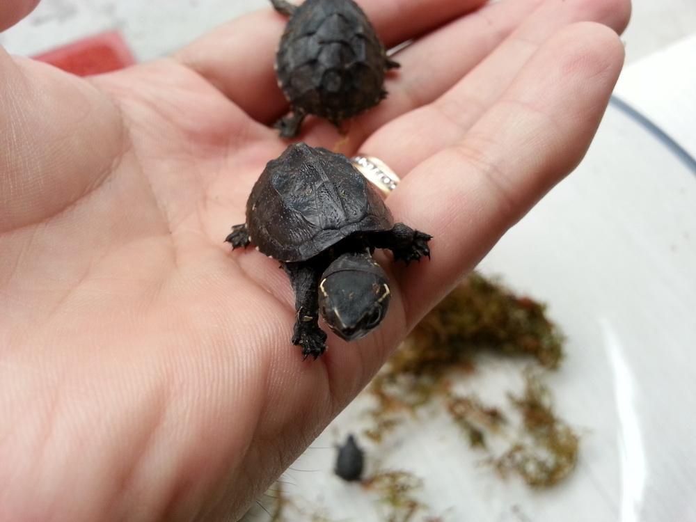 密西西比麝香龟性成熟需要几年