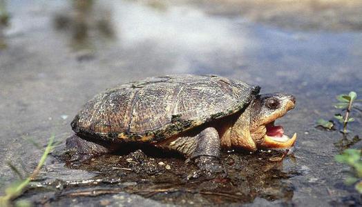 密西西比麝香龟吃什么
