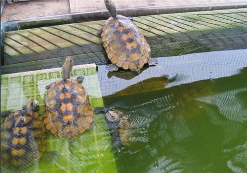 日本石龟需要晒背吗