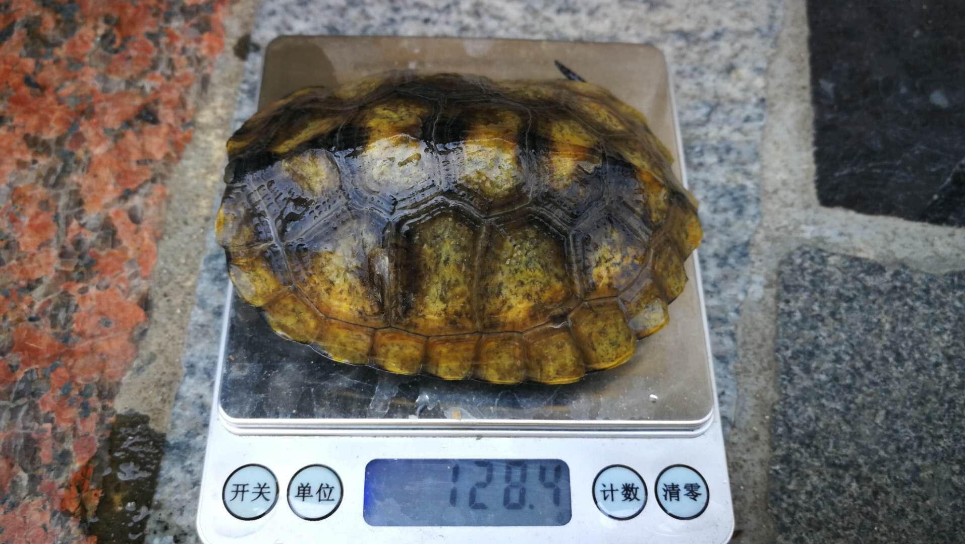 日本石龟怎么看公母 日本石龟公母区别