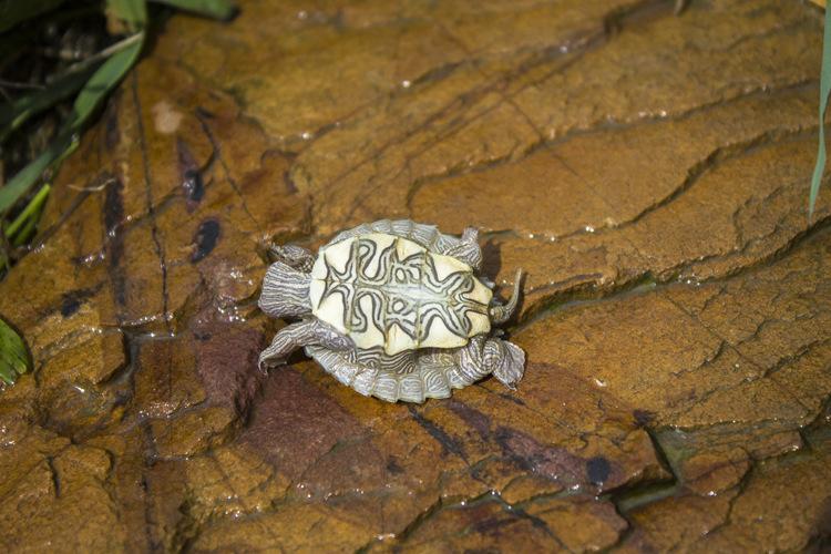 密西西比地图龟怕冷吗 密西西比河地图龟怕冷吗