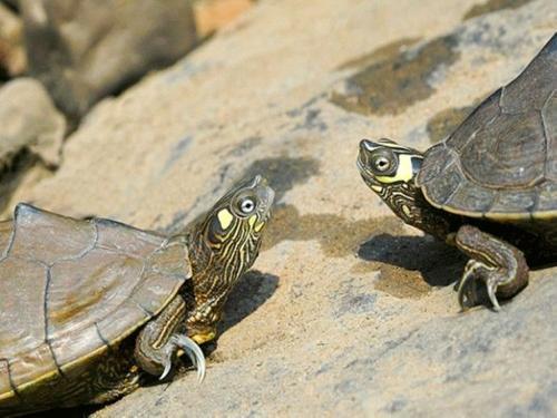 密西西比地图龟耐寒吗 密西西比地图龟如何过冬