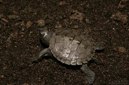 密西西比地图龟的生活环境