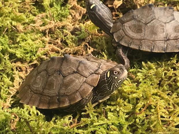 密西西比地图龟聪明吗