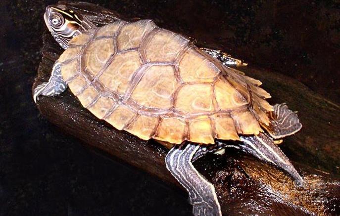 密西西比地图龟属于深水龟吗 密西西比地图龟是深水龟吗