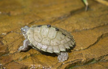密西西比地图龟能深水养吗 密西西比地图龟可以深水养吗