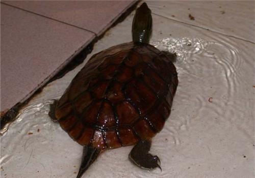 菲氏花龟如何分辨公母