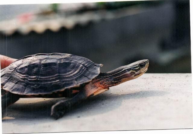 菲氏花龟怎么养