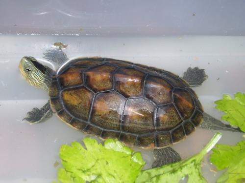 海南花龟与菲氏花龟的区别