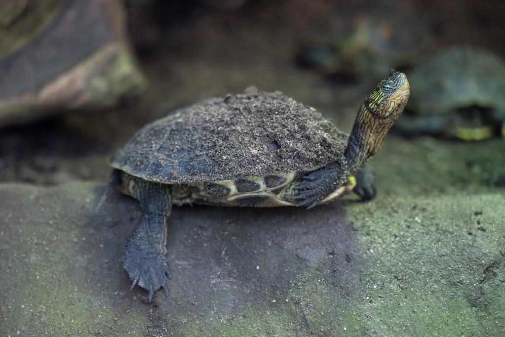 黄泥龟与黄泽龟的区别