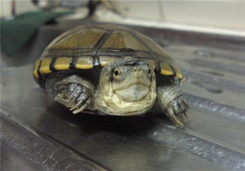 黄泥龟吃什么