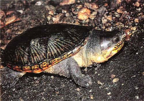 鹰嘴泥龟能深水养么