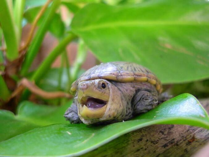 鹰嘴泥龟吃什么