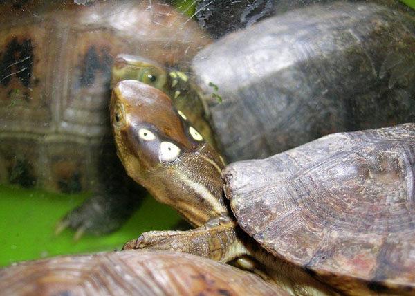 拟眼斑水龟的寿命 拟眼斑水龟寿命