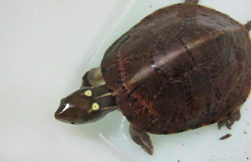 拟眼斑水龟吃什么