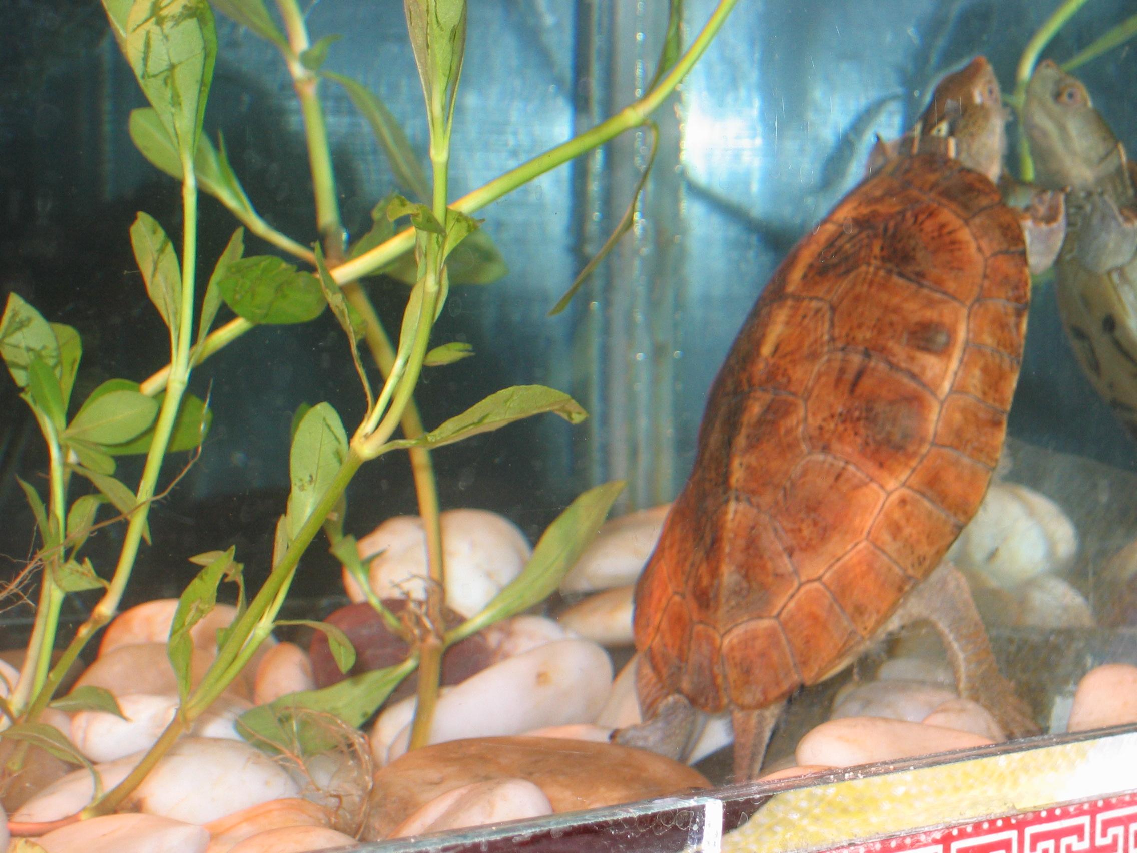 四眼斑拟水龟价格