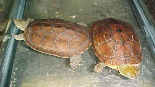 艾氏拟水龟多少钱一只 艾氏拟水龟什么价