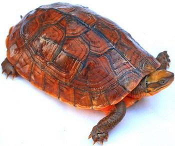 艾氏拟水龟是保护动物吗