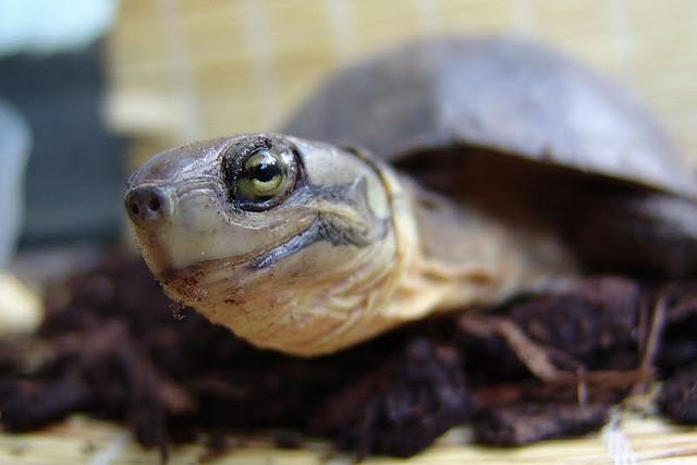 艾氏拟水龟可以吃什么水果?