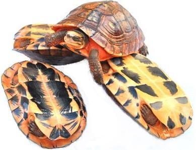 艾氏拟水龟和黄喉水龟如何区分 艾氏拟水龟和黄喉的区别