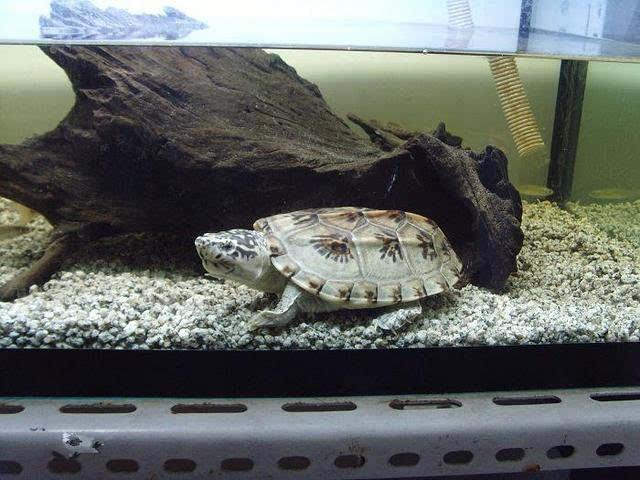 窄桥蛋龟最大能长多大 窄桥蛋龟成体多大