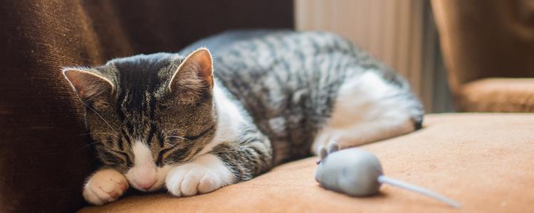 猫发烧是什么症状