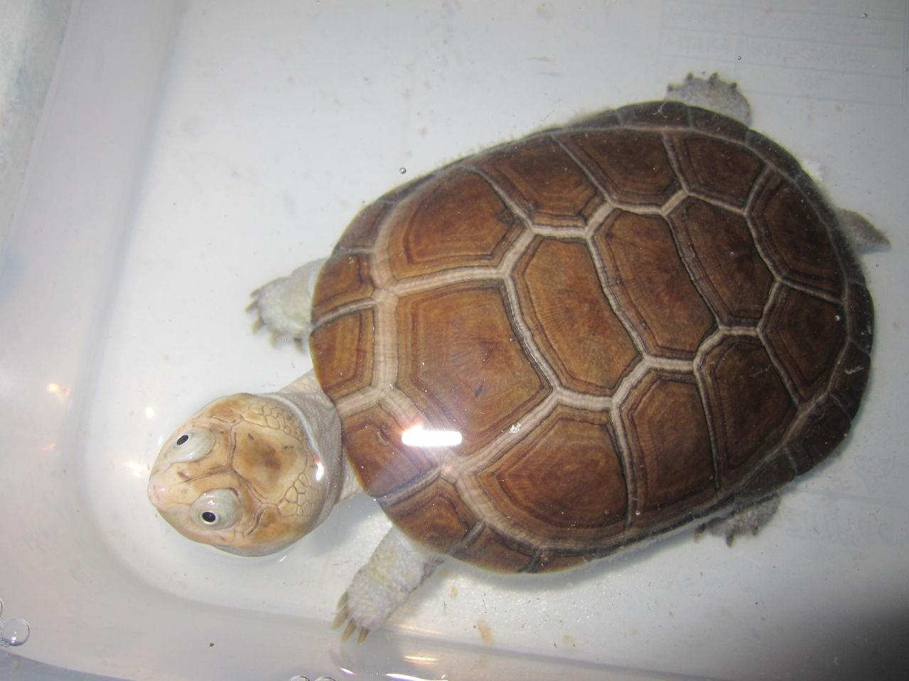 东非侧颈龟能长多大